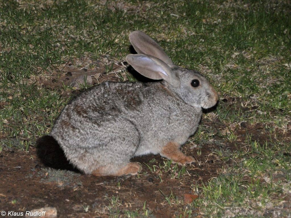 Рыжий кролик фото (лат. Pronolagus randensis)