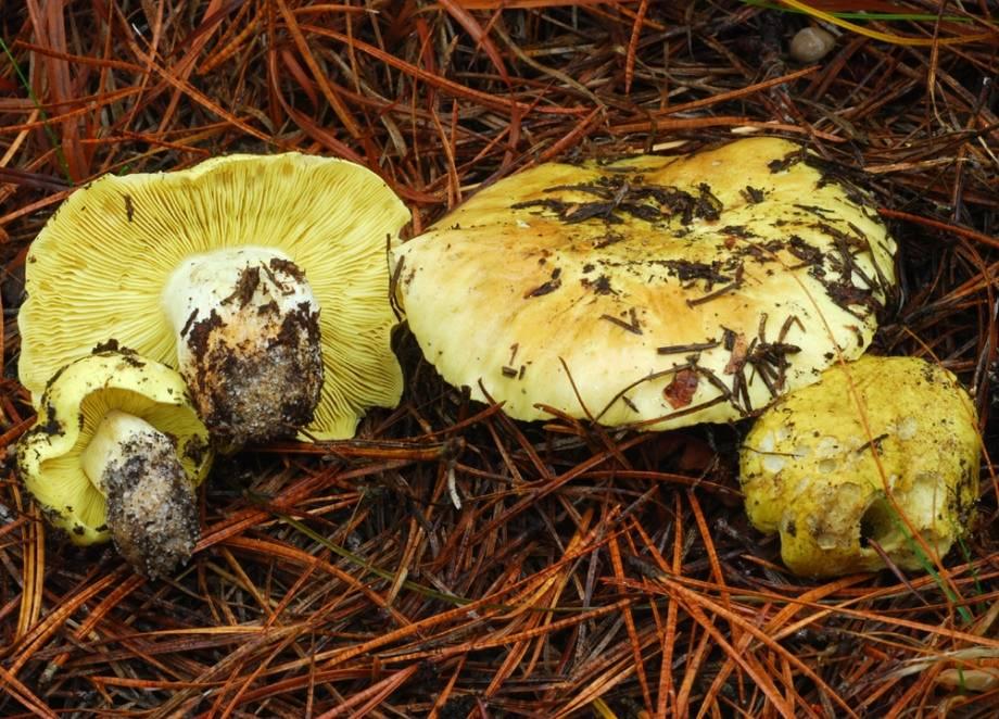 Рядовка зеленая (зеленушка, рядовка золотистая, лимонная) фото (лат. Tricholoma equestre, Tricholoma flavovirens)