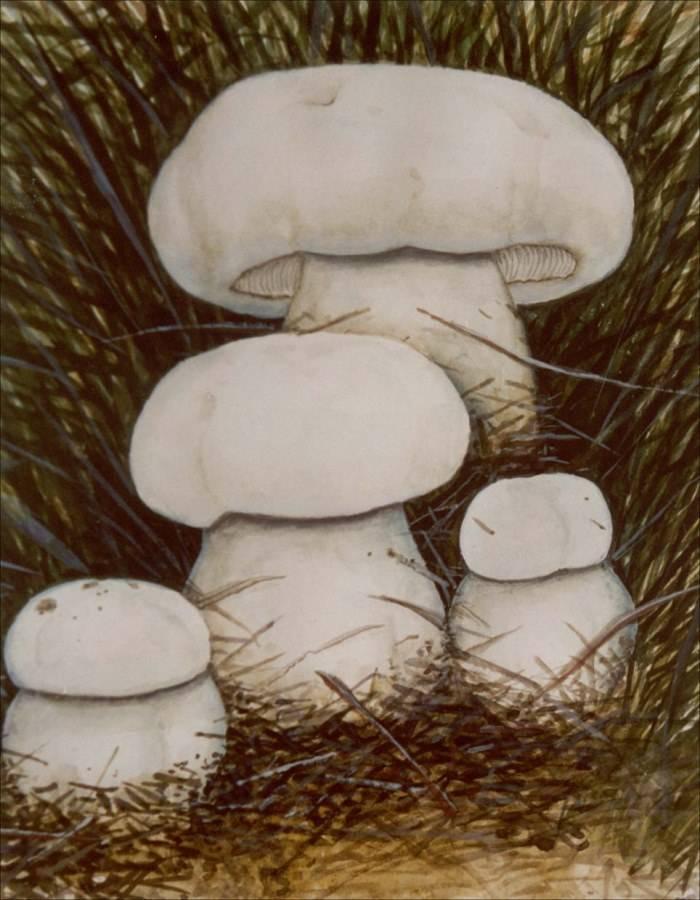 Рядовка монгольская фото (лат. Tricholoma mongolicum)