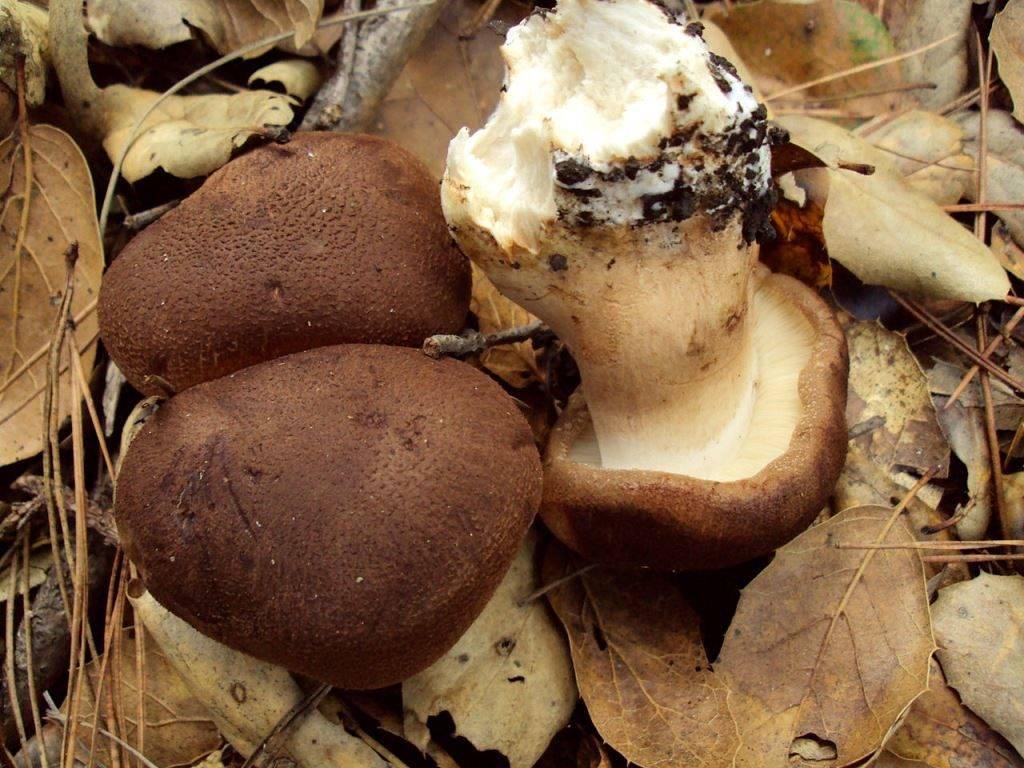 Рядовка чешуйчатая (волокнисто-чешуйчатая, сластушка, рядовка коричневатая) фото (лат. Tricholoma imbricatum)