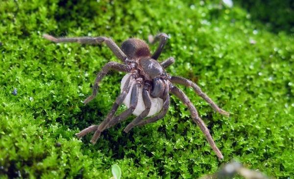 Самка паука-птицееда с коконом фото