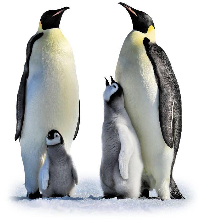 Самый большой в мире пингвин фото (императорский пингвин)