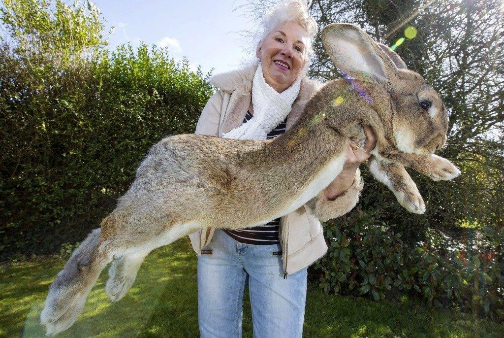 Самый большой кролик в мире по имени Дарий фото