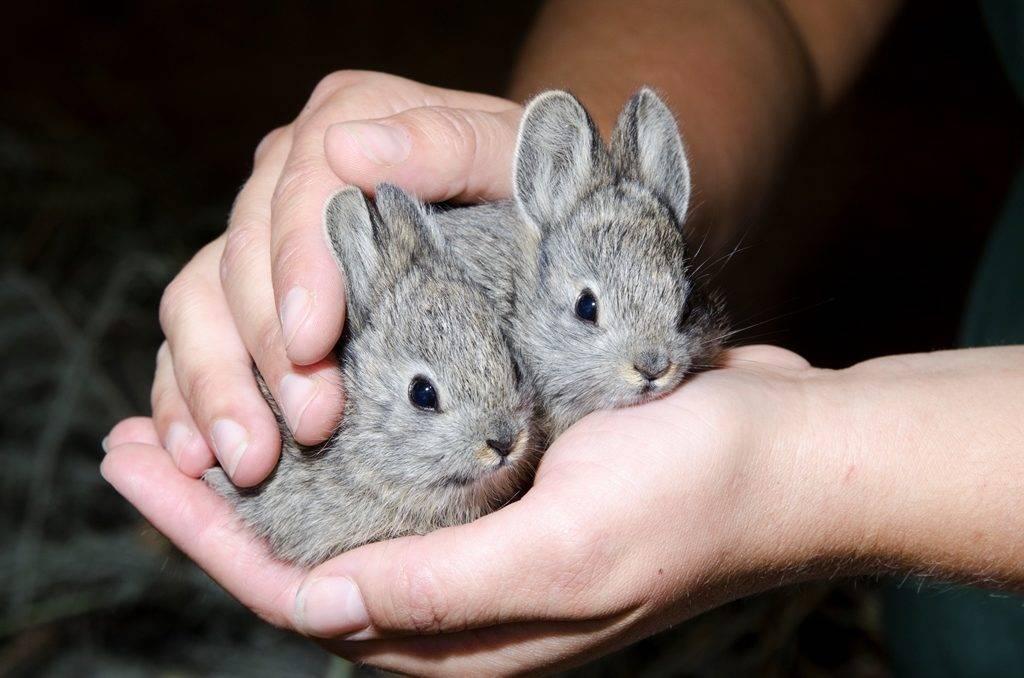 Самый маленький кролик в мире айдахский кролик