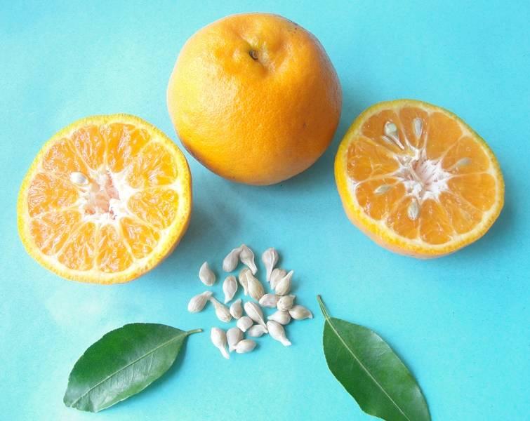 Семена мандарина фото