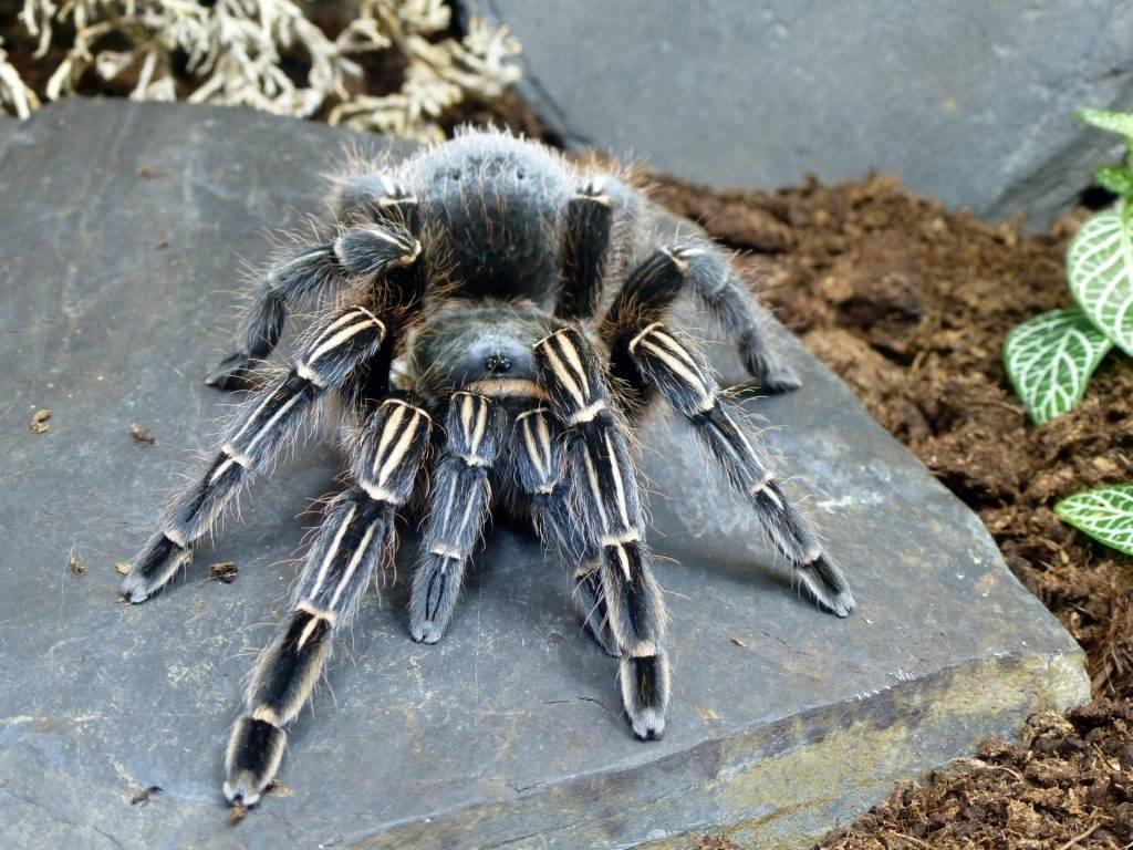 Синий паук-птицеед Aphonopelma seemanni фото