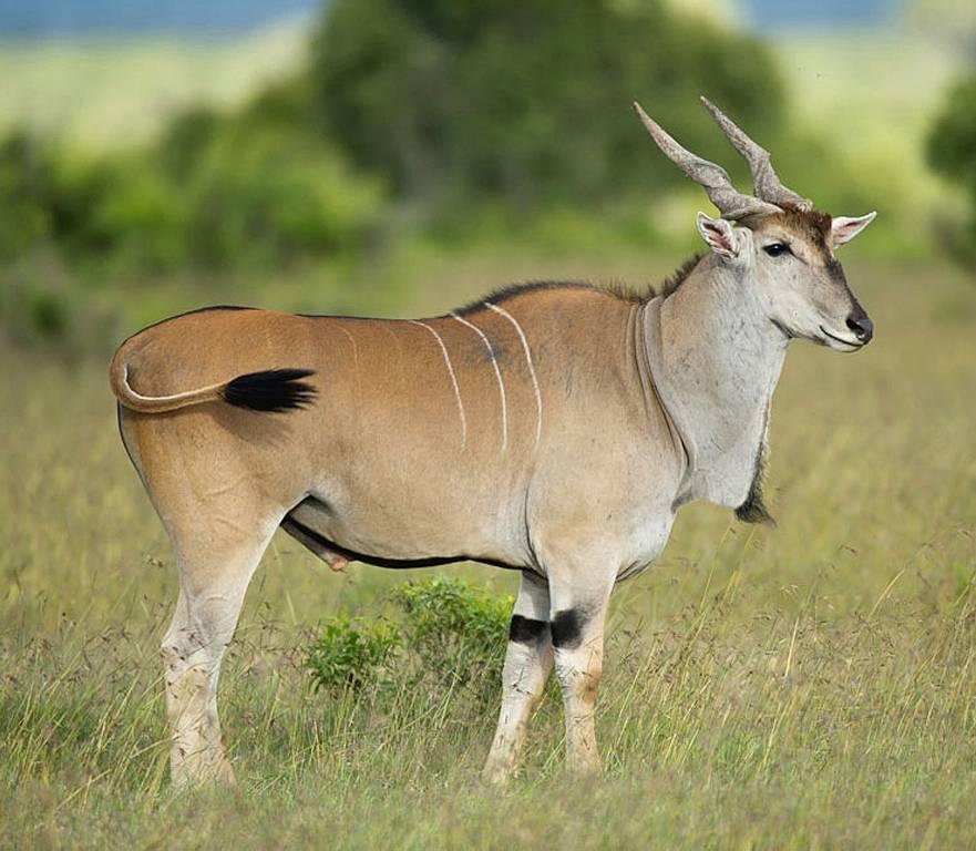 Хвост антилопы фото (вид – канна обыкновенная)