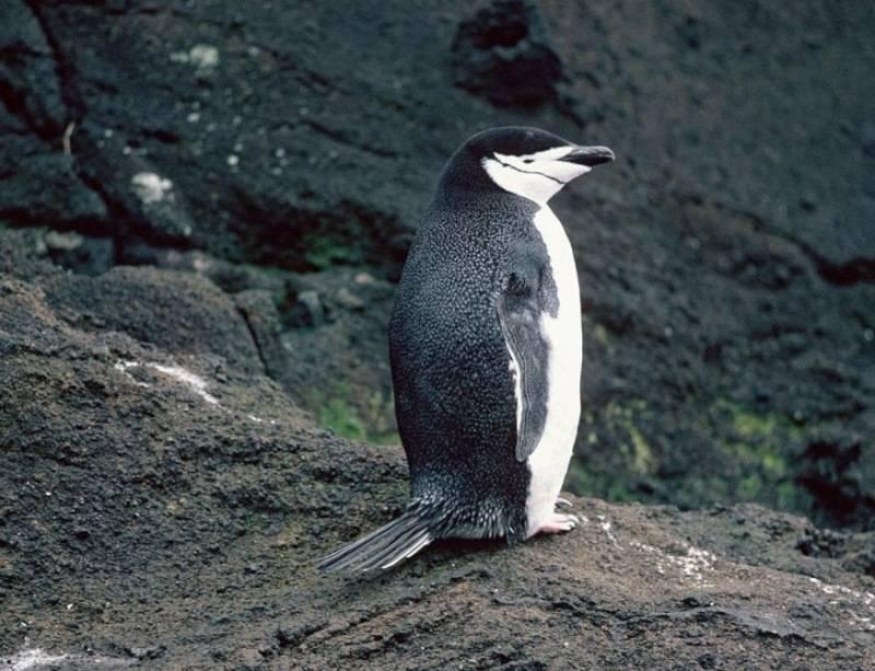 Хвост пингвина фото