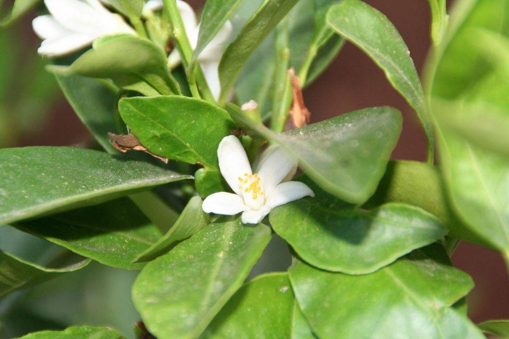 Цветы мандарина фото