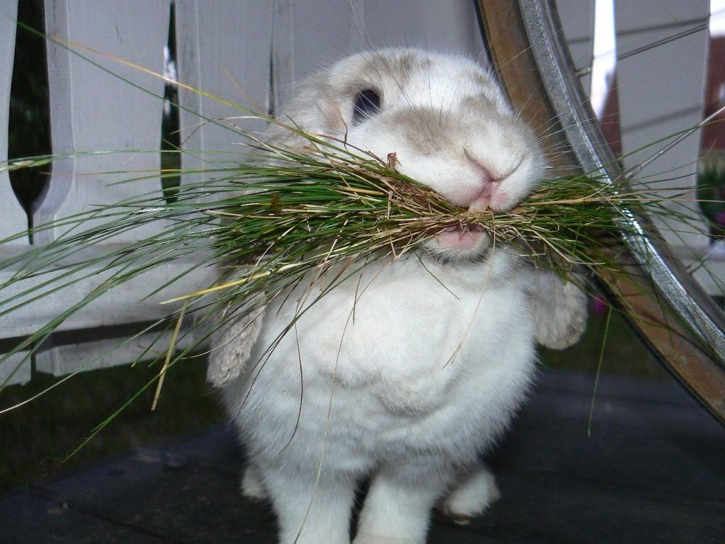 Чем кормить декоративного домашнего кролика фото