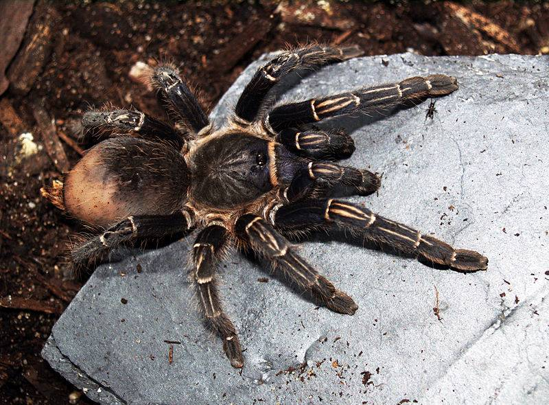 Черный паук-птицеед Aphonopelma seemanni фото