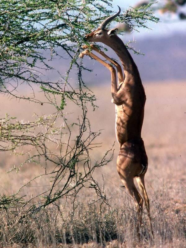 Что едят антилопы фото