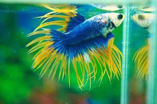 Аквариумная рыбка петушок пегого окраса фото