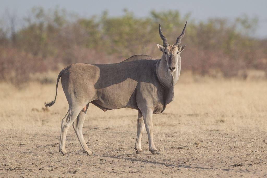 Антилопа канна (обыкновенная канна) фото (лат. Taurotragus oryx)
