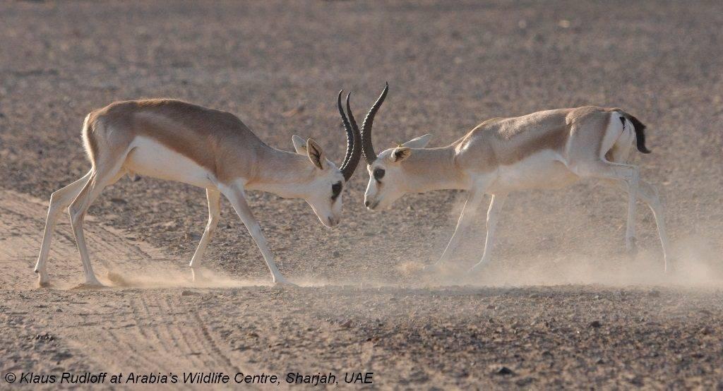 Антилопы дерутся фото