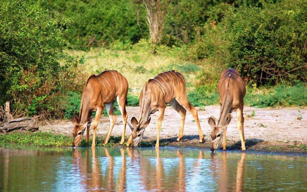 Антилопы на водопое фото