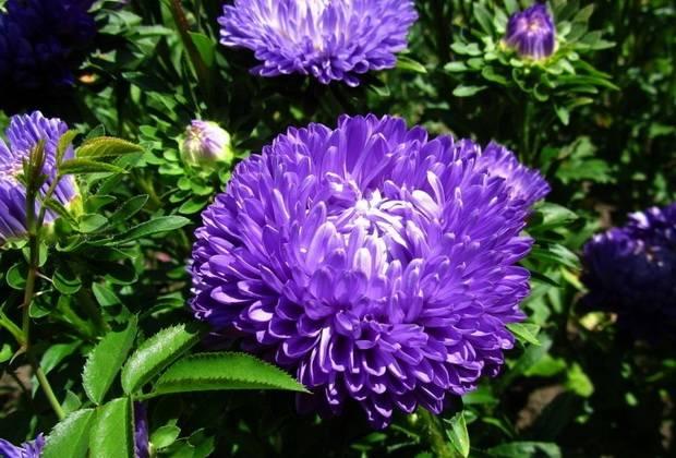 Астры садовые «Леди Коралл» фото цветов