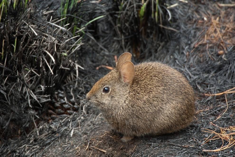 Бесхвостый кролик (вулканический кролик, тепоринго) фото (лат. Romerolagus diazi)