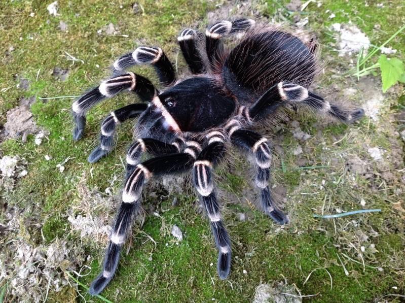 Бразильский черно-белый паук-птицеед фото (лат. Acanthoscurria brocklehursti)