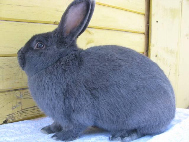 Венский голубой кролик фото