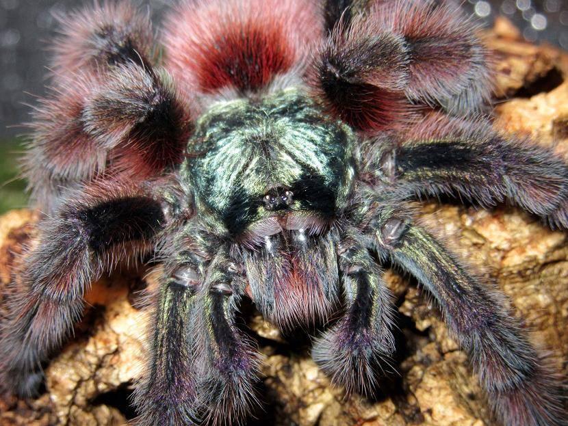 Внешний вид паука-птицееда фото