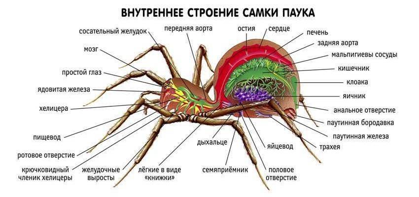 Внутреннее строение самки паука фото