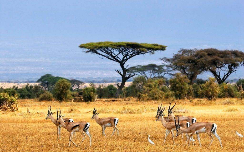 Где обитает антилопа фото