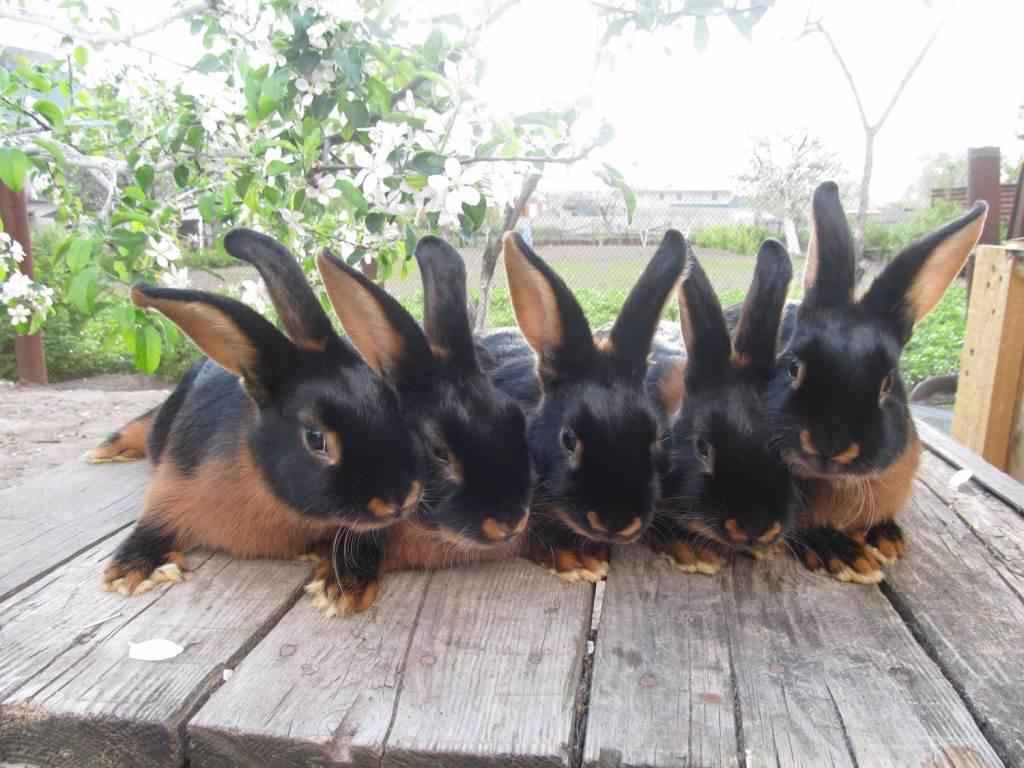 Кролик – описание, породы, виды, фото, декоративные кролики Декоративные Кролики Уход