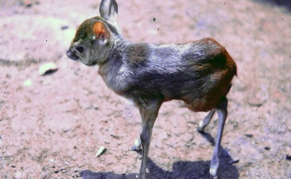 Детеныш карликовой антилопы фото