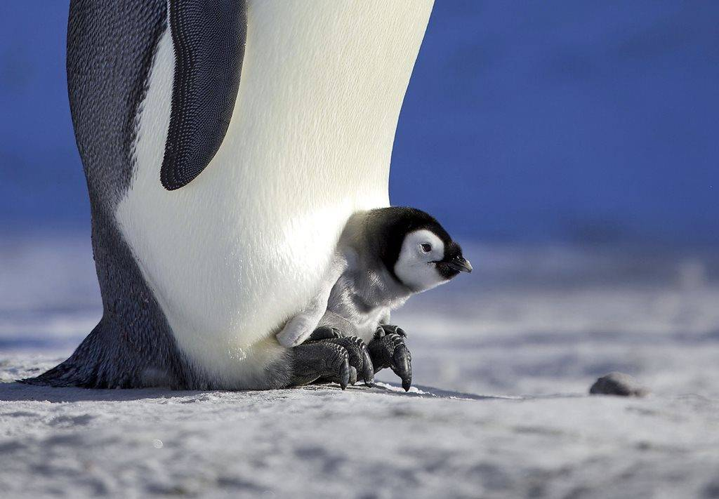Детеныш пингвина фото