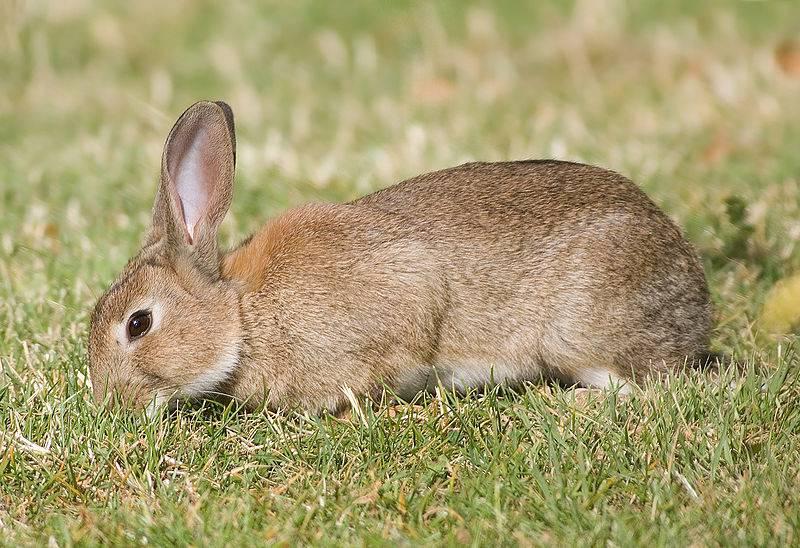 Дикий кролик (европейский кролик) фото (лат. Oryctolagus cuniculus)