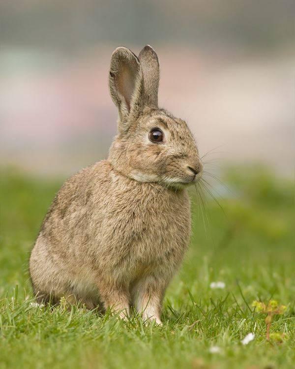 Дикий кролик фото