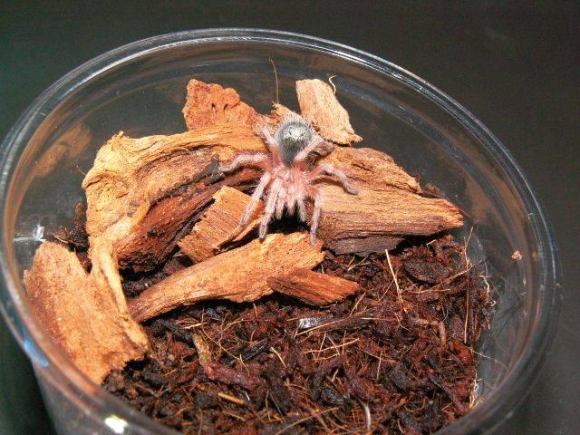 Домашний паук-птицеед фото