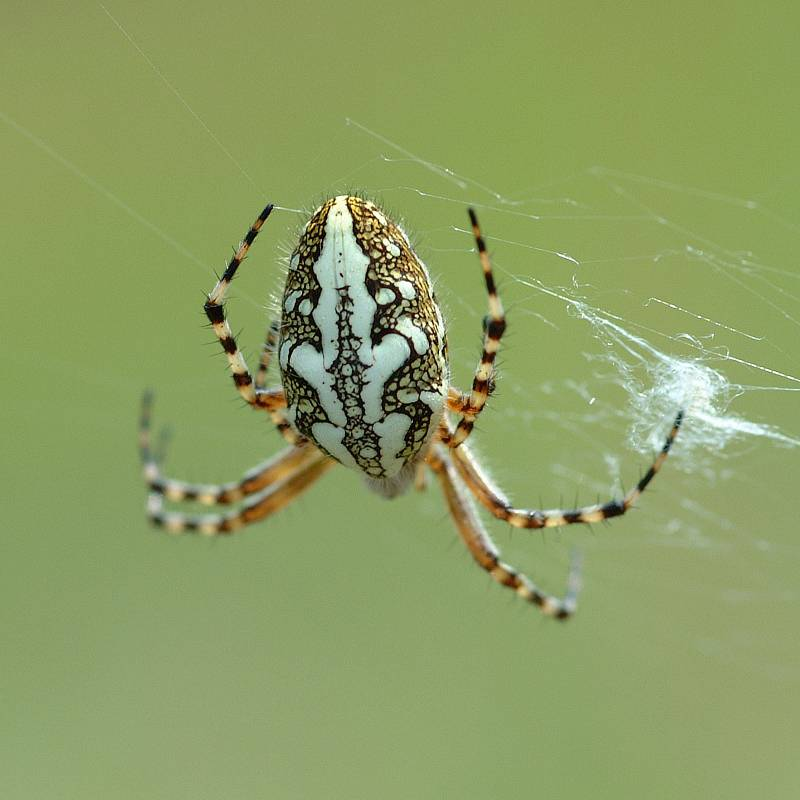 Дубовый паук-крестовик фото