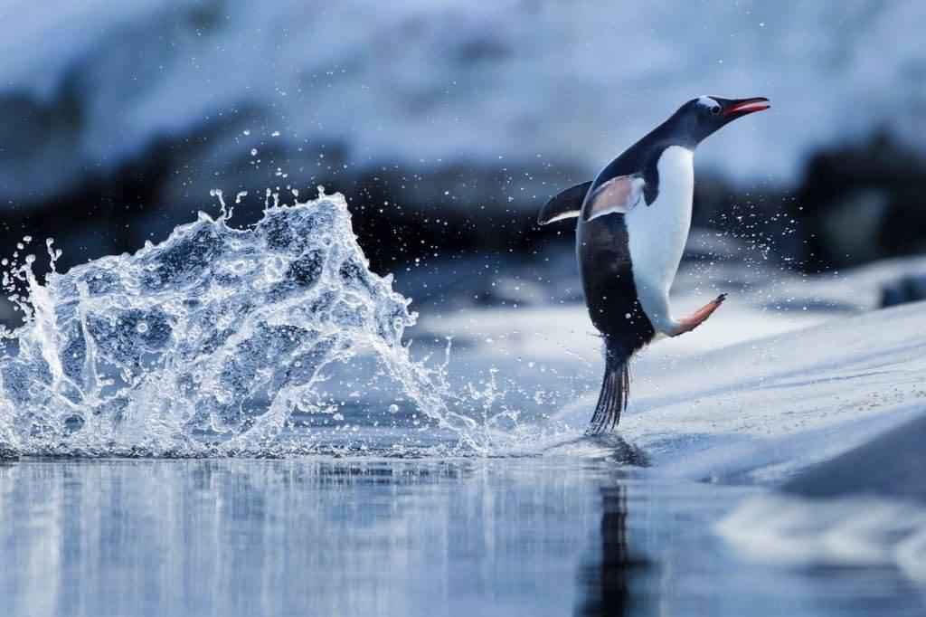 Как выглядит пингвин фото