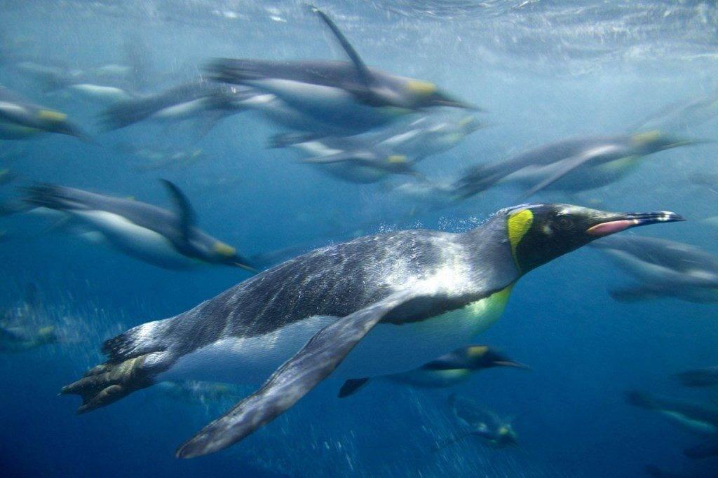 Как плавают пингвины фото