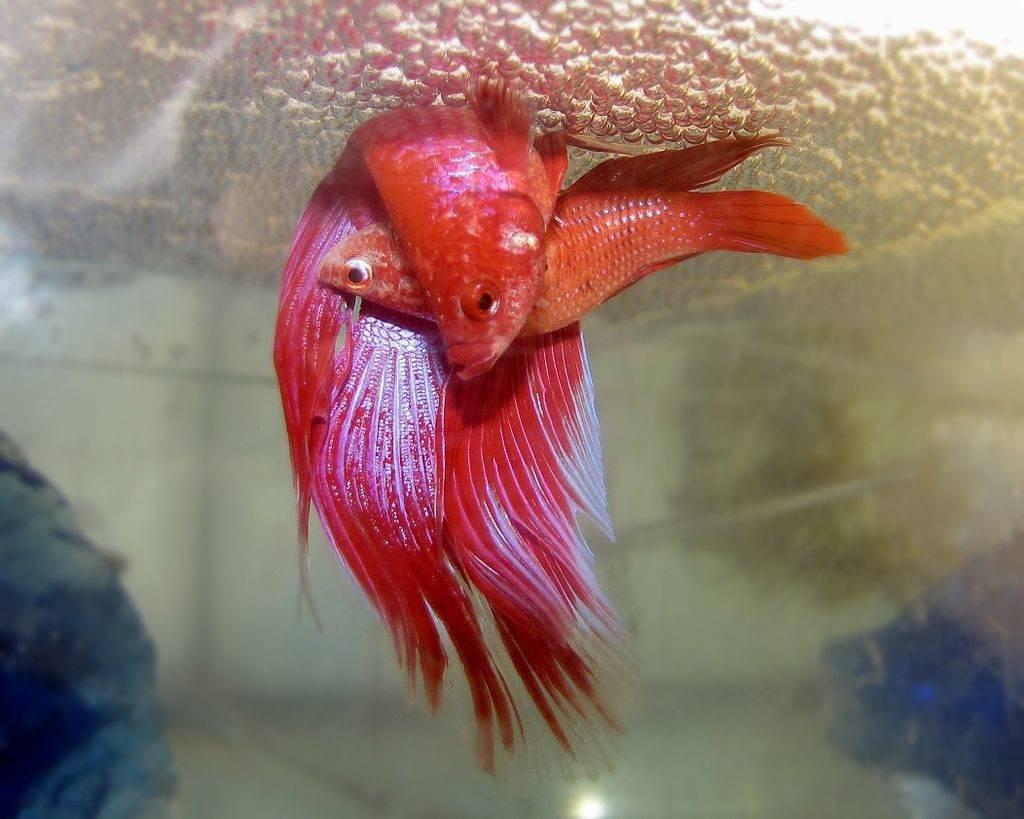 Как размножаются рыбки петушки фото