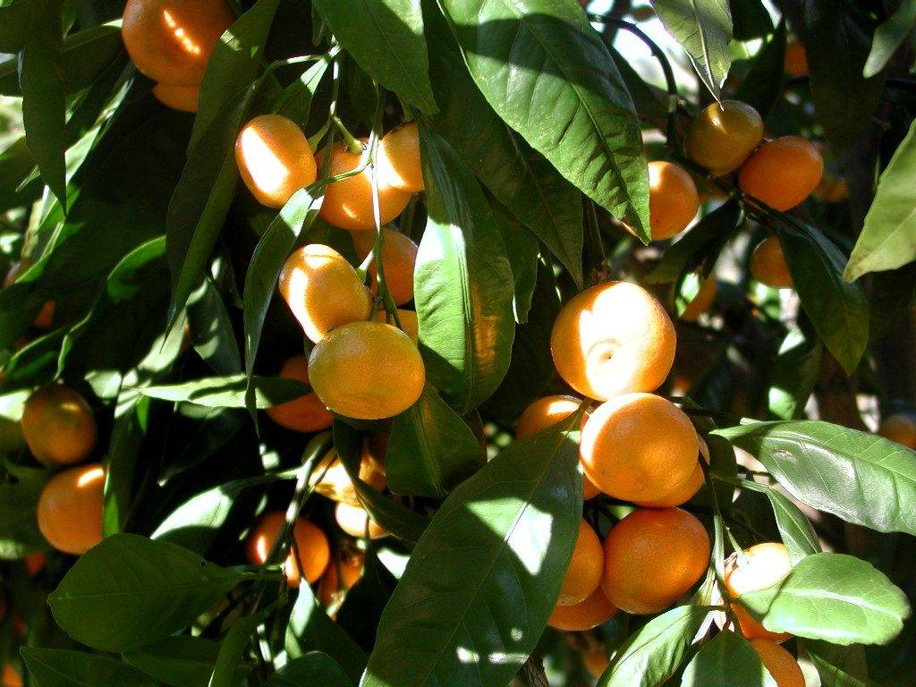 Как растут мандарины фото