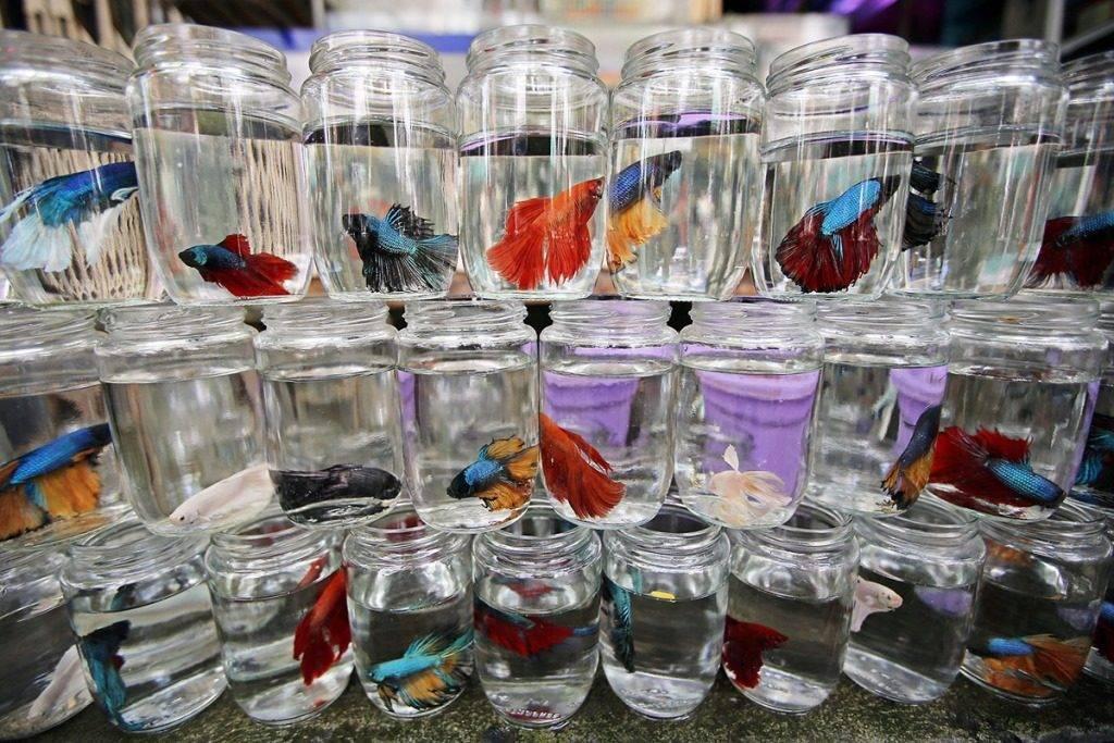 Как содержать рыбок петушков фото