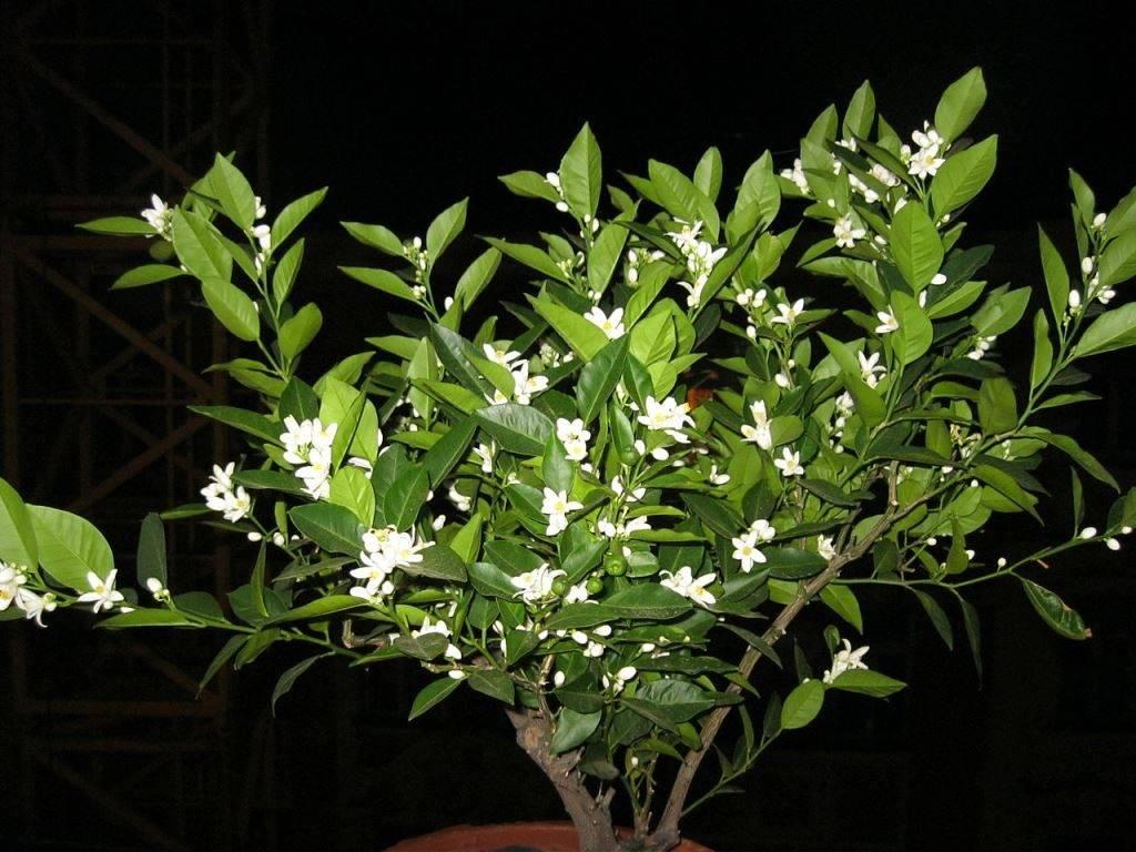 Как цветет мандарин фото