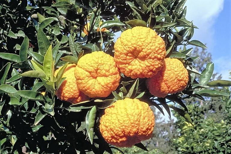 Королевский (благородный) мандарин фото (лат. Citrus nobilis)