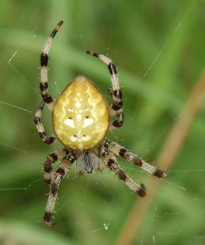 Крестовик четырехпятнистый (крестовик луговой) фото (лат. Araneus quadratus)