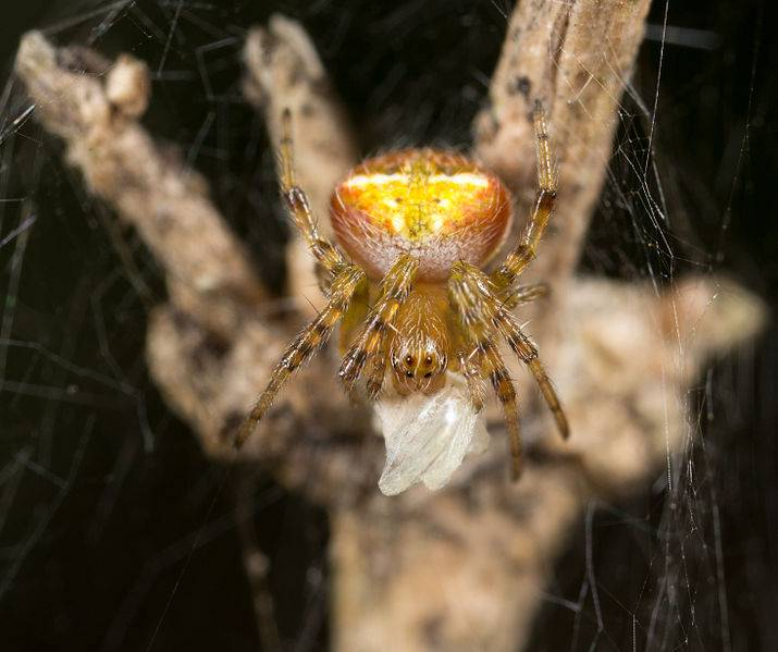 Крестовик Araneus albotriangulus фото