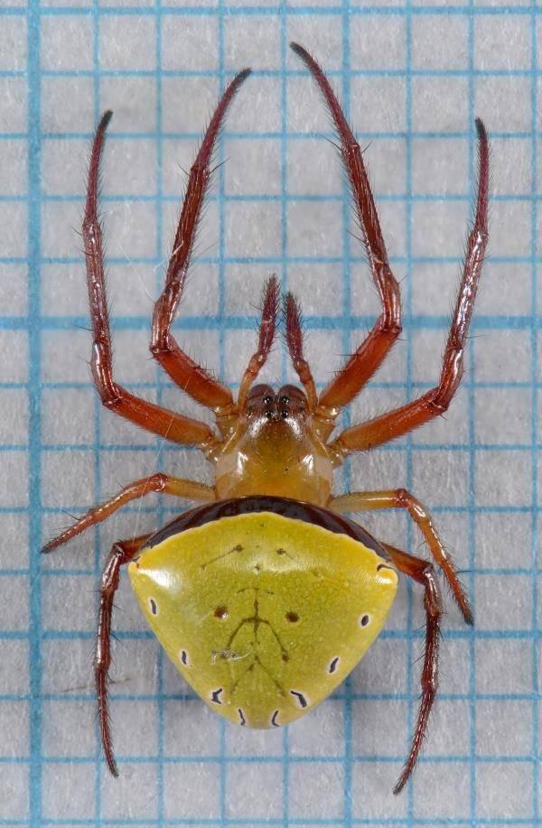 Крестовик Araneus viridiventris фото