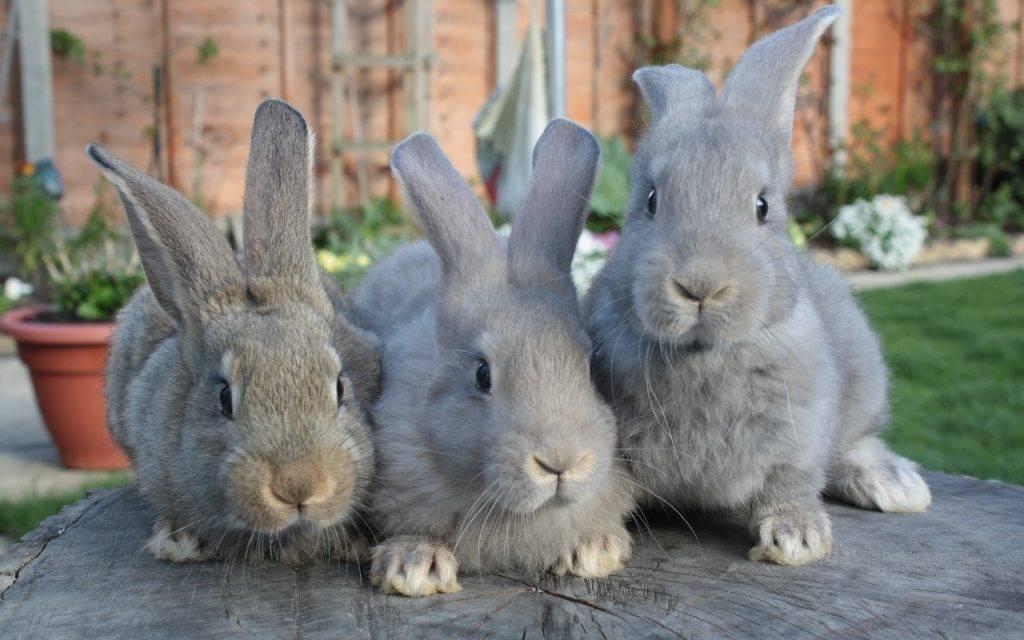 В Ужгороді відбудеться виставка кроликів