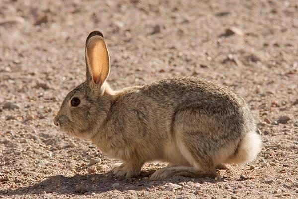Кролик Нуттала фото (лат. Sylvilagus nuttallii)