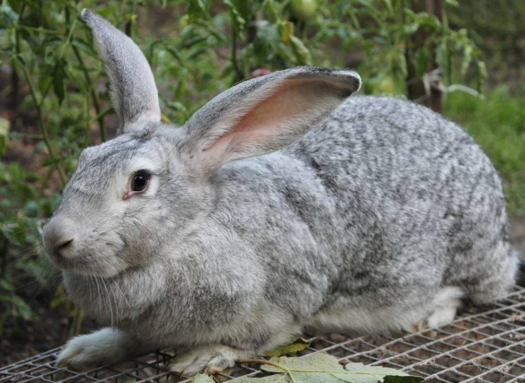 Кролик Серый великан фото