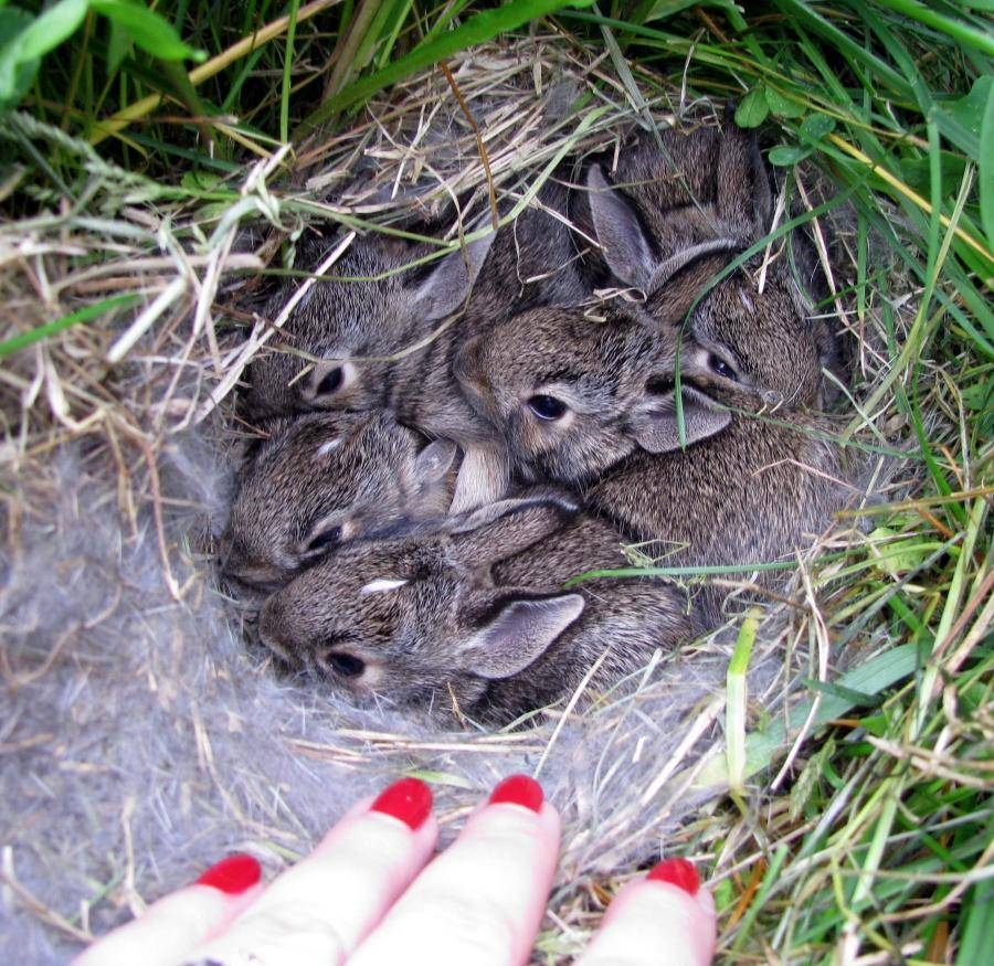 Крольчата в гнезде фото