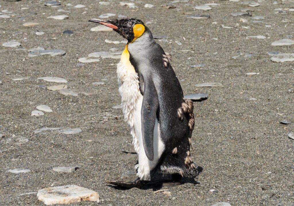 Линька пингвина фото