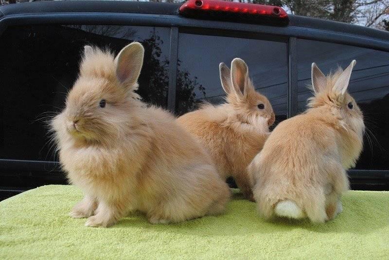 Львиноголовые кролики фото